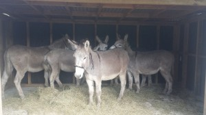 Donkeys rescued