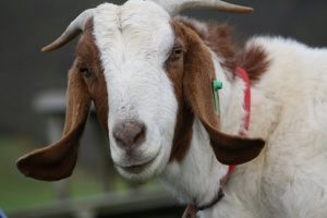 george-the-goat
